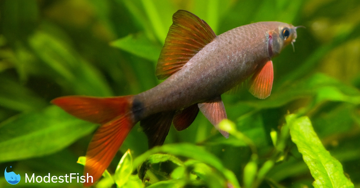Rainbow shark swimming in planted aquarium