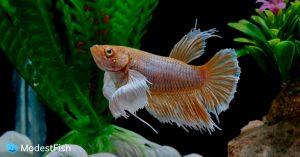 Betta fish waiting to receive food in aquarium