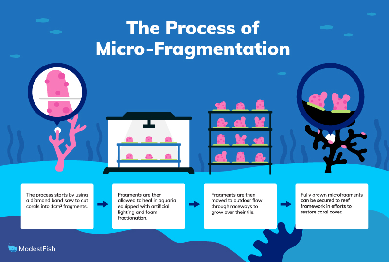 graphic showing the process of micro-fragmentation of corals