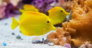Yellow fish resting on substrate in reef aquarium