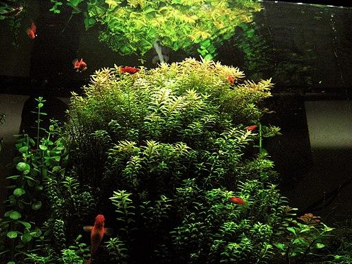 Rotala Indica plant in aquarium