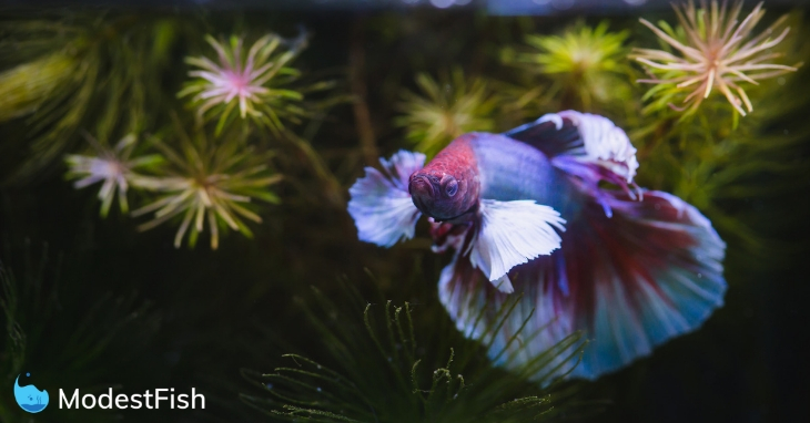 Betta fish in a planted aquarium