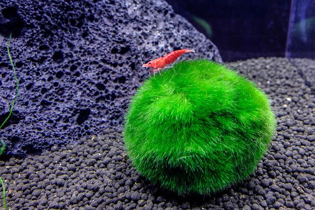 Shrimp on marimo moss ball