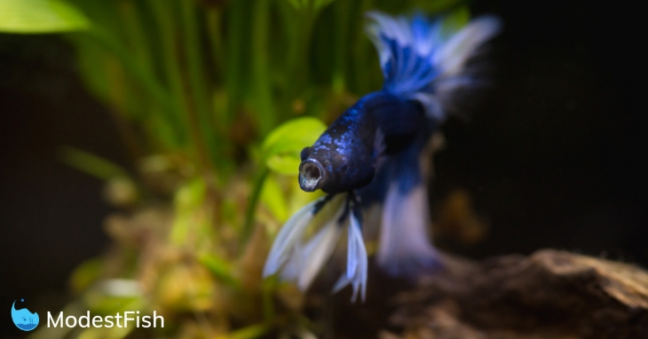 Blue betta fish swimming in planted tank