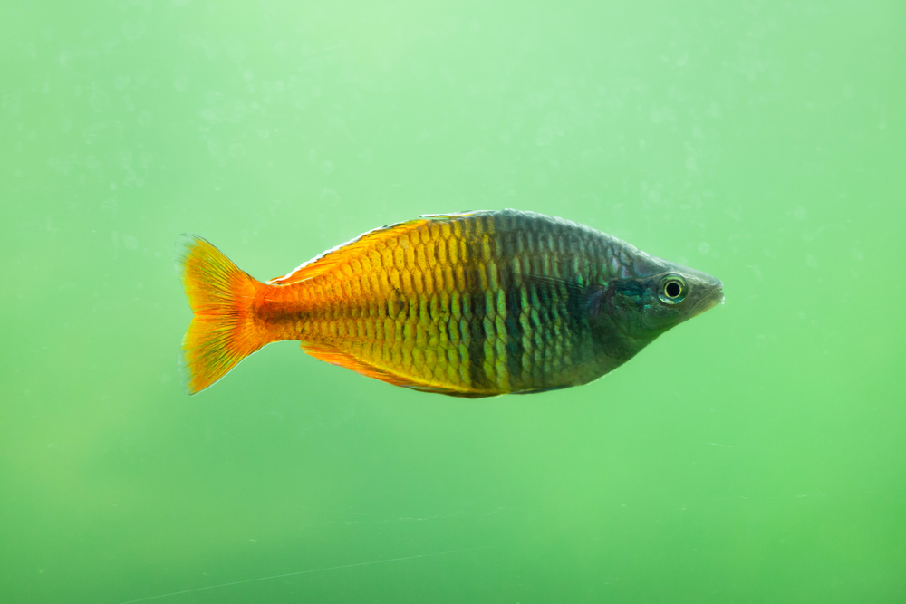 Boeseman's rainbowfish (Melanotaenia boesemani). Freshwater fish.