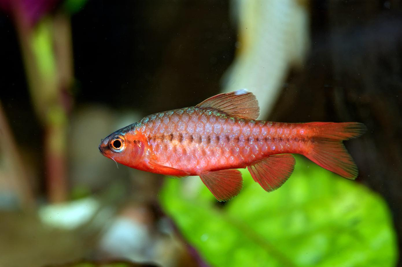Cherry barb swimming in planted aquarium