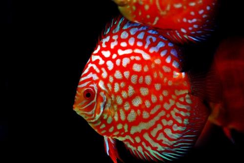 Discus Swimming in aquarium