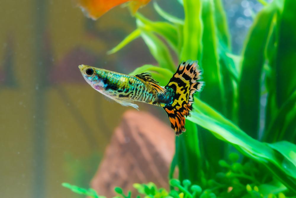 Best Looking Freshwater Aquarium Fish - Aquarium That