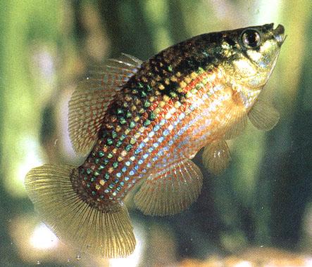 Florida flag fish swimming upwards in aquarium