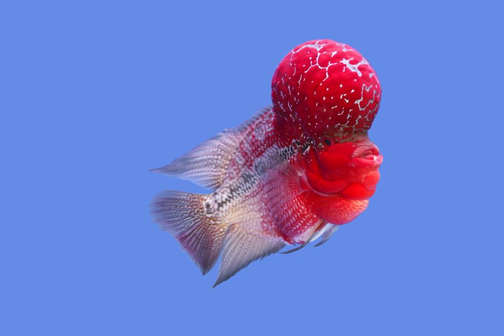 Flowerhorn cichlid swimming alone