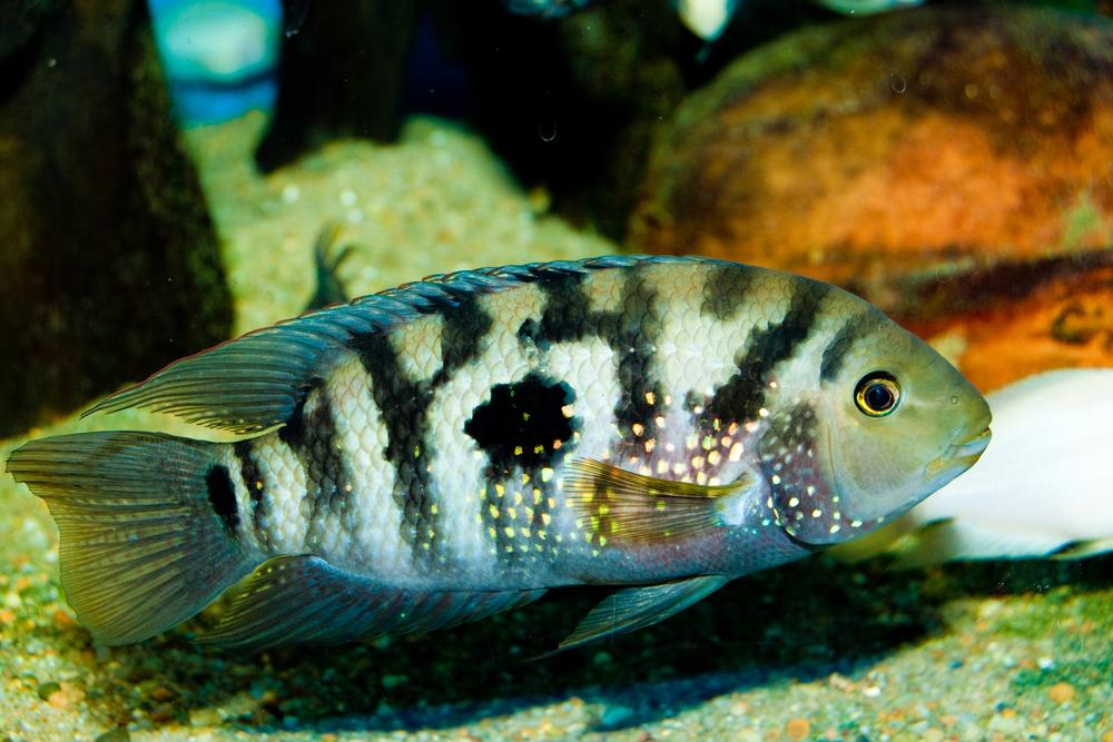 Jack Dempsey Cichlid in Aquarium
