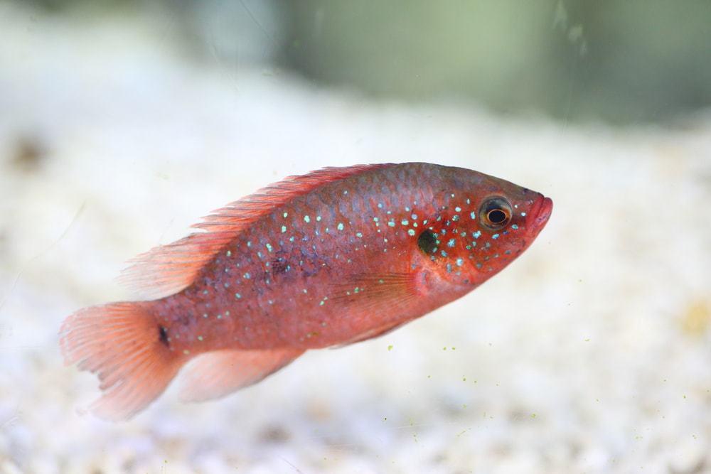 Jewel Cichlid resting on bottom of tank