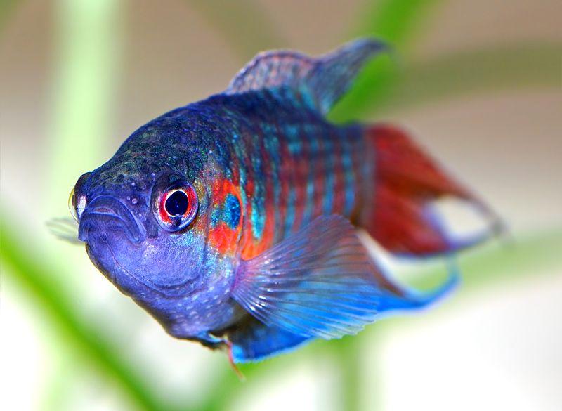 Paradise fish swimming in fish tank