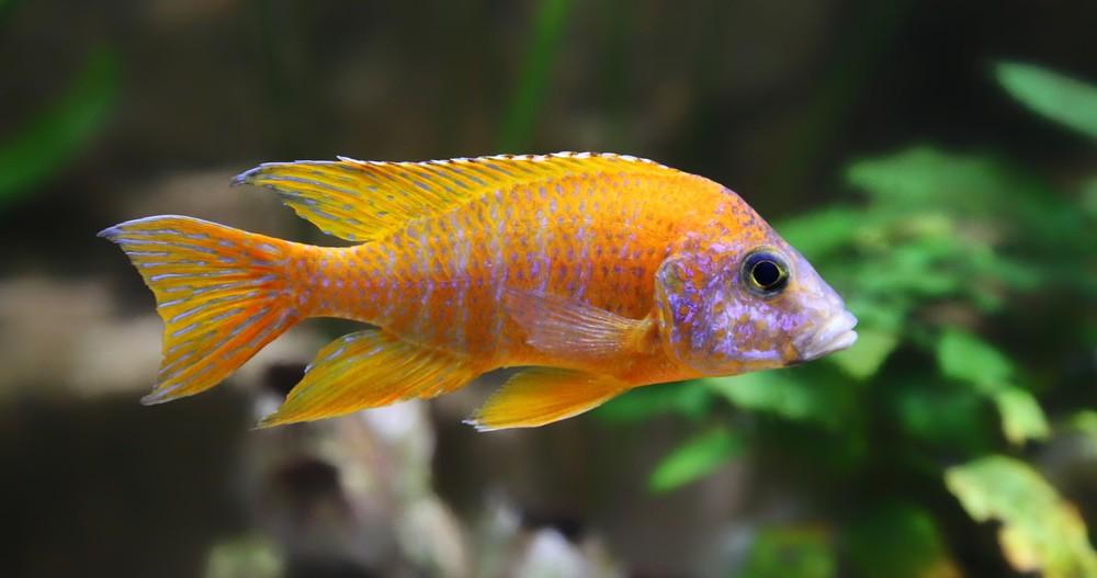 Peacock cichlid swimming around plants in aquarium