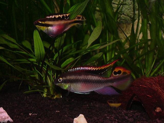 Three rainbow kribensis swimming in planted aquarium