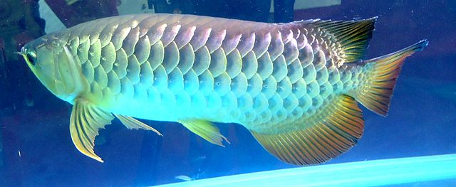 Red Tail Golden Arowana Swimming