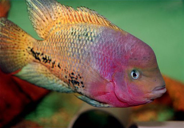 Read head cichlid swimming alone is aquarium
