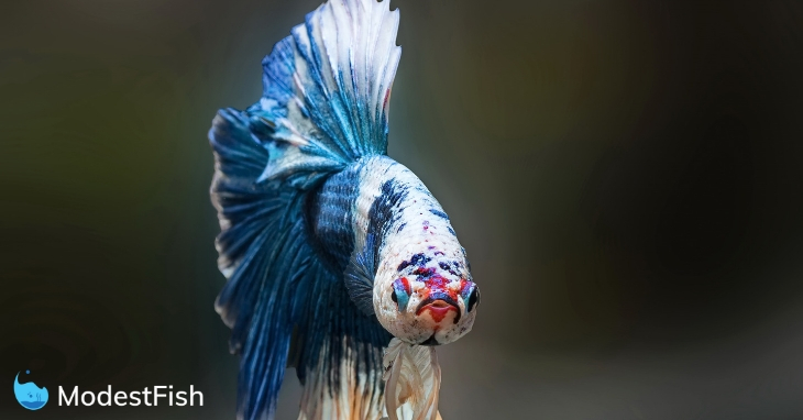 Blue marbled betta fish