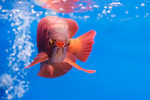Asian arowana red fish,dragon fish