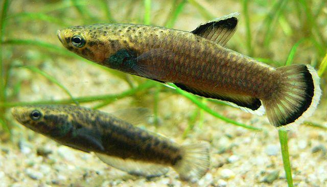 Wild betta fish swimming