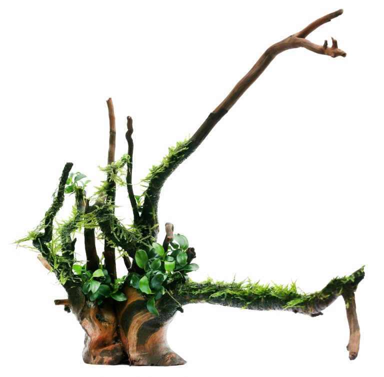 Java moss and anubias tied in bogwood over white background