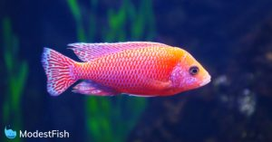 brightly colored cichlid in aquarium