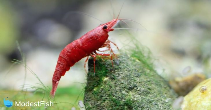 Cherry Shrimp: Expert Aquarist's Guide to Caring, Feeding