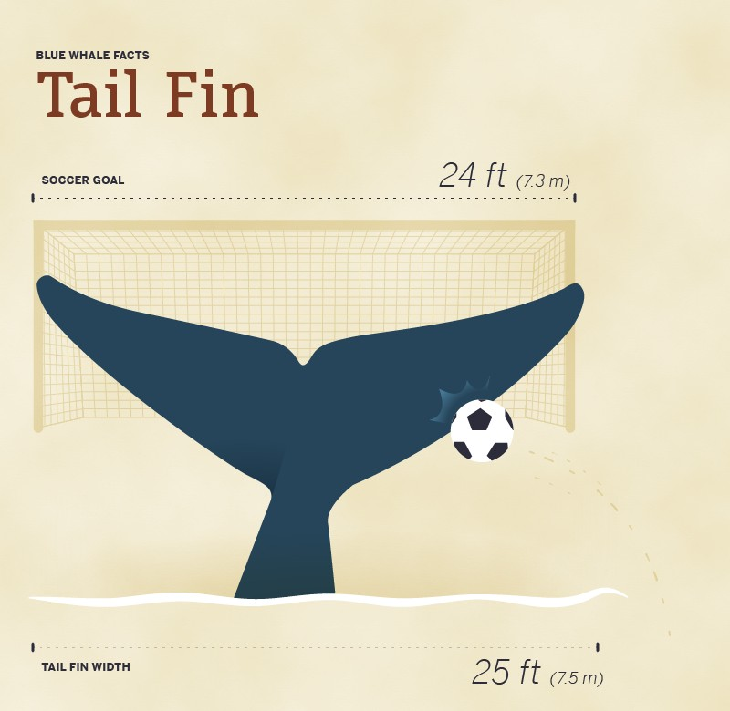 Size of blue whales tail fin compared to soccer goal
