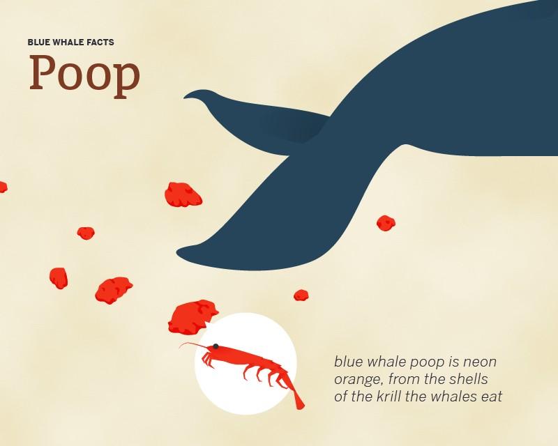 Blue whale poo