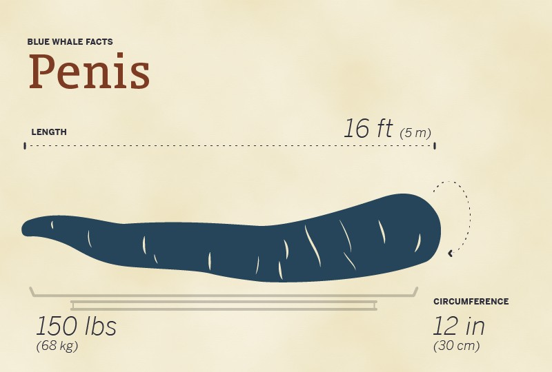 Blue whale's penis size comparison