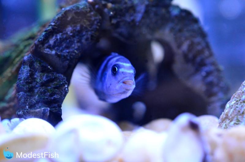 cichlid in aquarium hiding