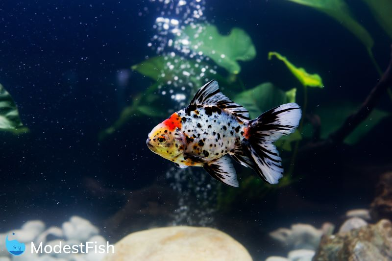 Goldfish swimming in fish tank with air stone bubbling in background