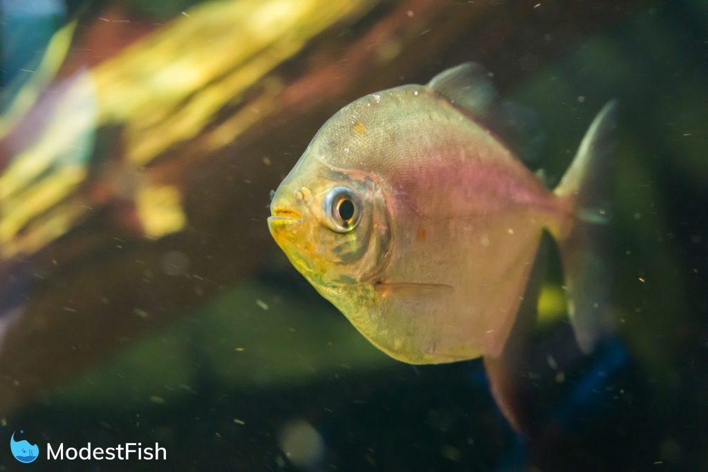Silver dollar fish swimming