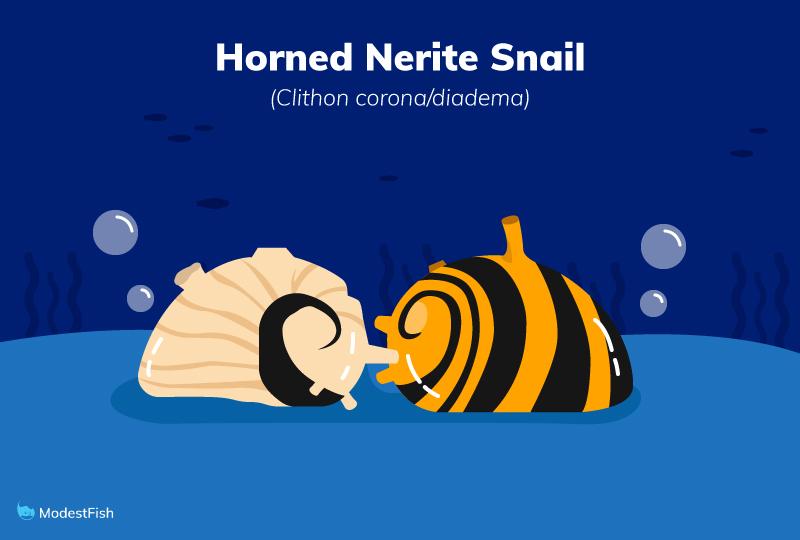 horned nerite snail