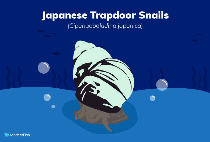 Japanese trapdoor snail
