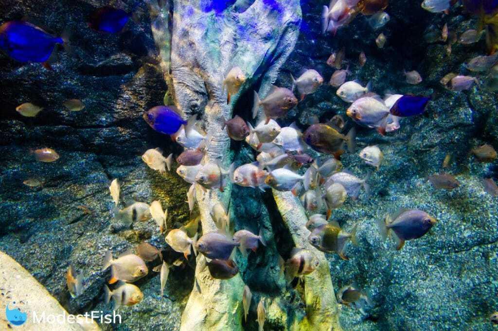 silver dollar fish schooling