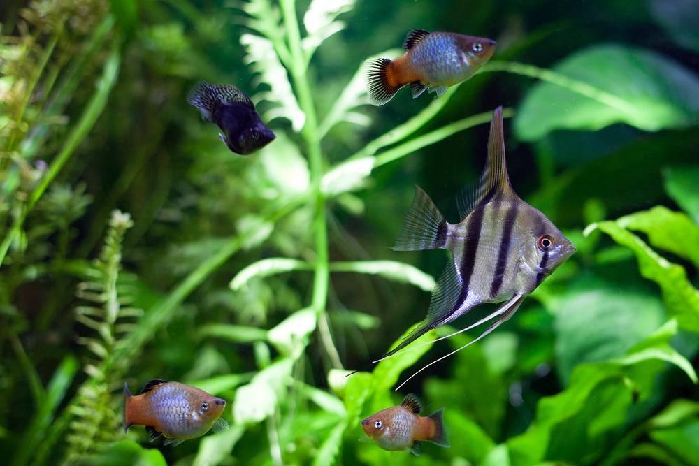 Angelfish in community aquarium