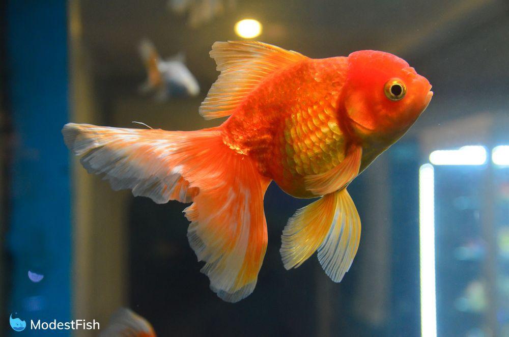 Goldfish swimming in aquarium