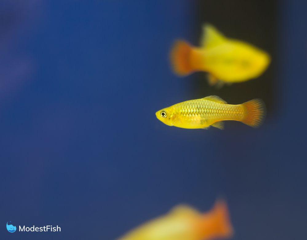 yellow platy fish