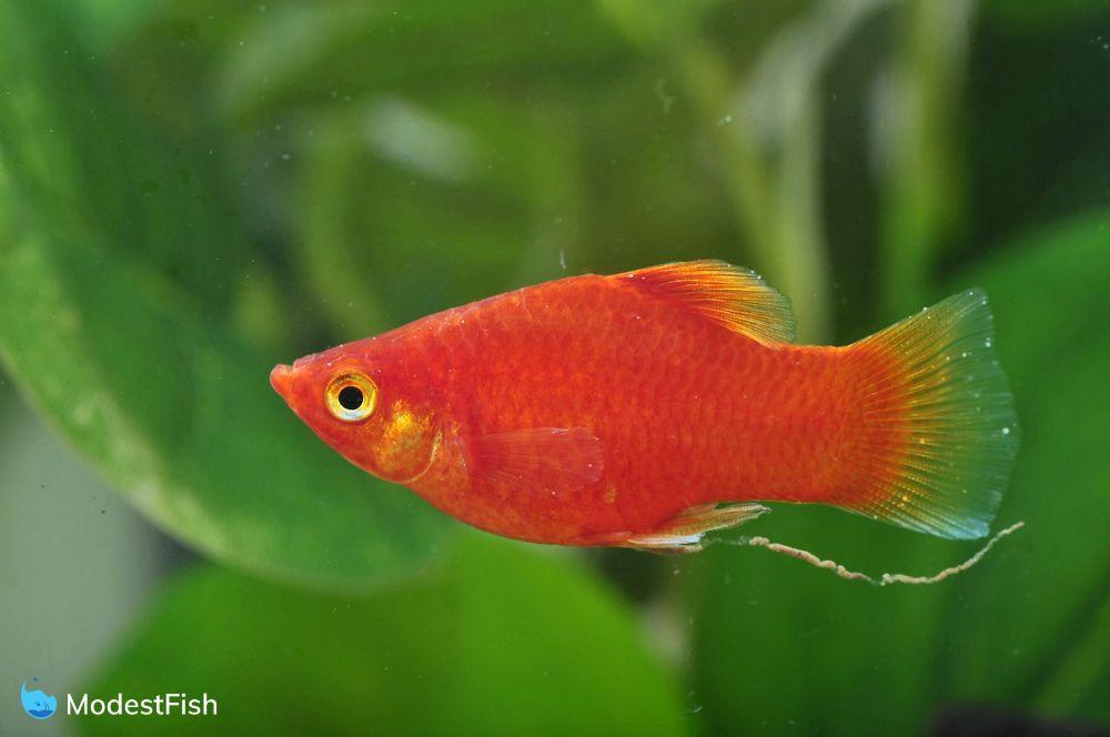 red platy fish