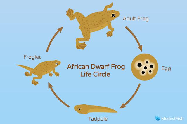 African dwarf frog life circle