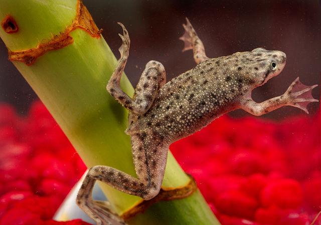 African dwarf frog