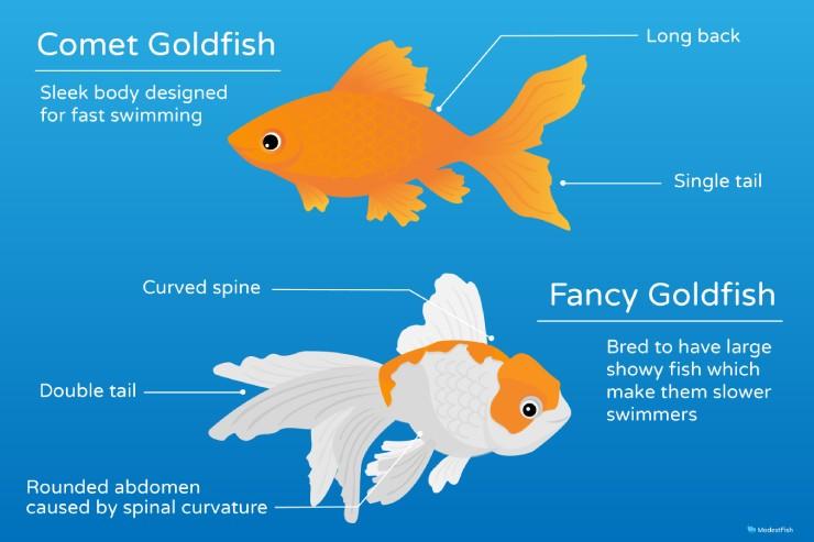 Comet goldfish appearance comparison