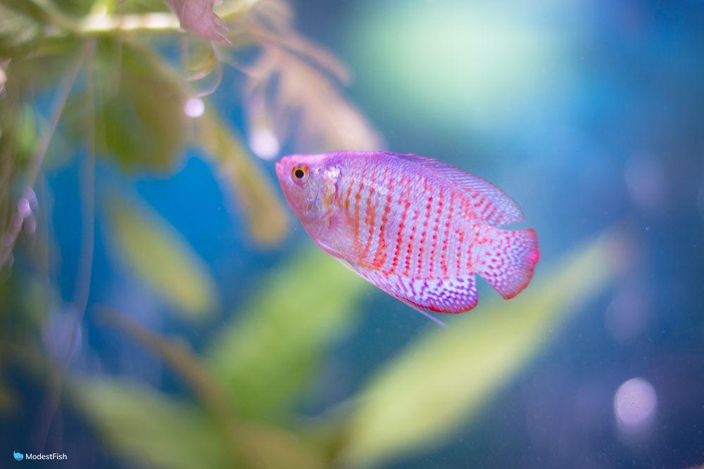 close up of dwarf gourami (Trichogaster lalius) swimming in aquarium