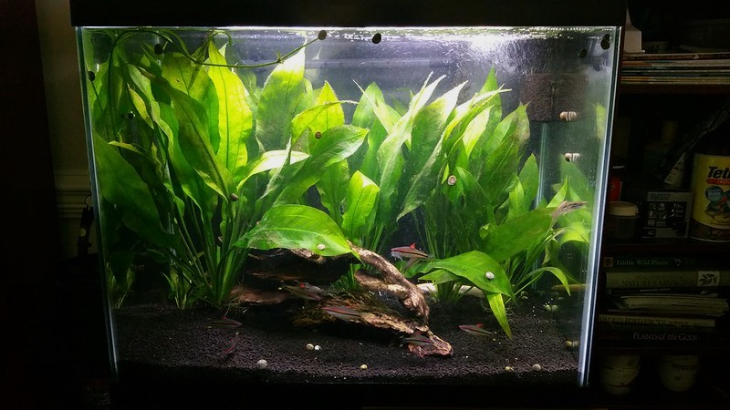 planted aquarium with amazon sword and roseline sharks