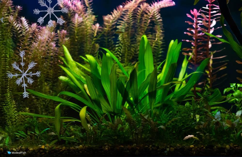 amazon sword in freshwater planted aquarium