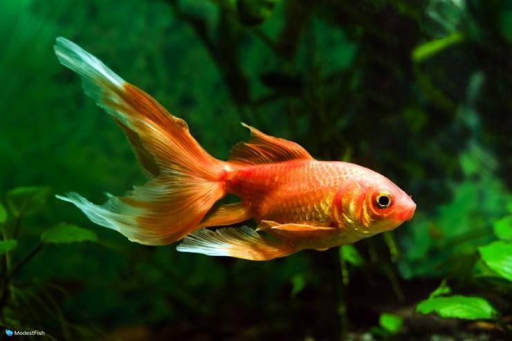 Comet goldfish (Carassius auratus) swimming in planted aquarium