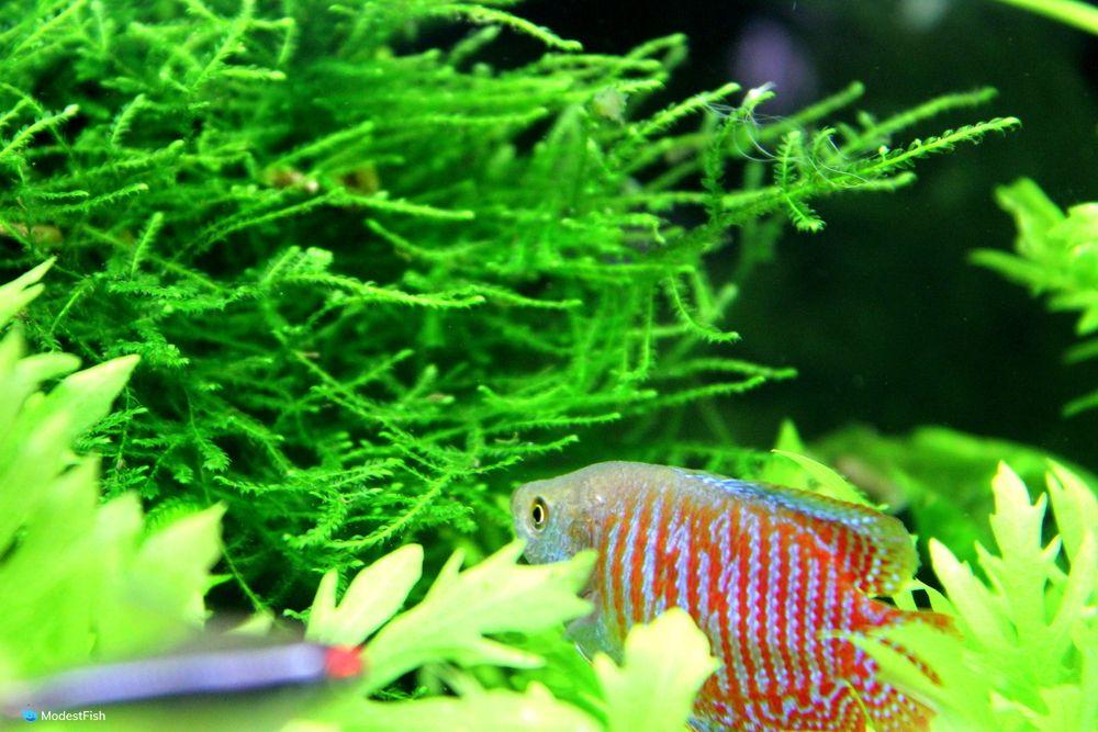 dwarf gourami swimming in planted aquarium