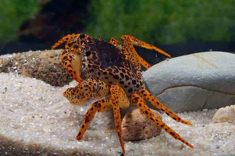panther crab in aquarium