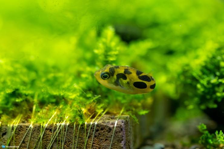 Pea Puffer (Carinotetraodon travancoricus) swimming on bottom of planted aquarium